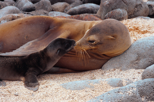 Sea Lion「Galapagos sea-lion with young」:スマホ壁紙(19)