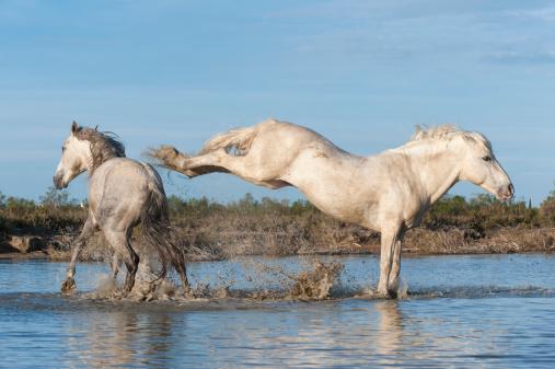 Stallion「Camargue horses」:スマホ壁紙(14)
