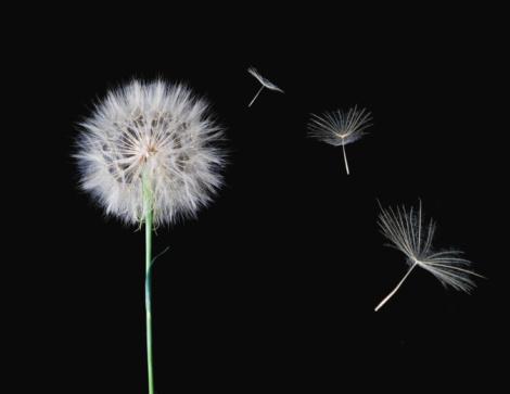 Uncultivated「Dandelion Weed Seeds」:スマホ壁紙(14)