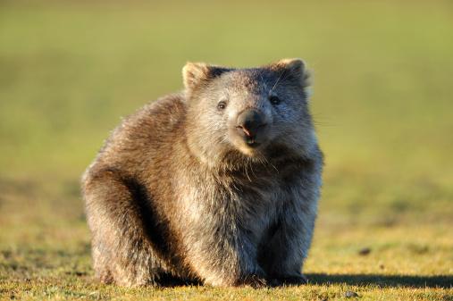 Animal Hair「Wombat」:スマホ壁紙(16)