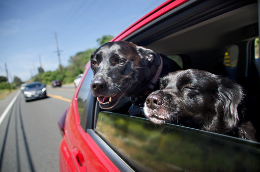 Making A Face「Dogs in Moving Car Window」:スマホ壁紙(12)