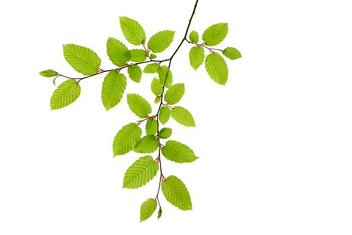 Branch - Plant Part「Branch of European Hornbeam, Carpinus betulus」:スマホ壁紙(1)