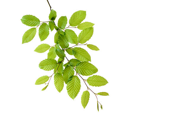 Branch of European Hornbeam with fresh foliage in spring in front of white background:スマホ壁紙(壁紙.com)