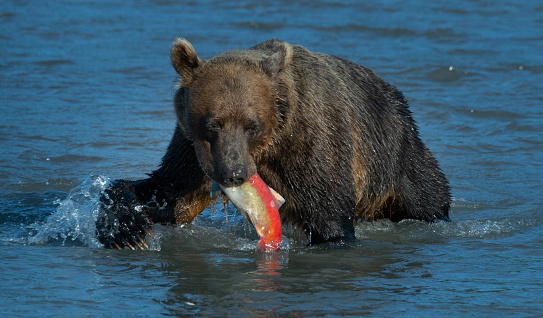 Kamchatka Brown Bear「Bear and Salmon」:スマホ壁紙(10)