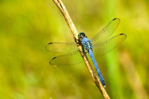 Dragonfly「Eastern pondhawk, Erythemis simplicicollis, dragonfly」:スマホ壁紙(2)
