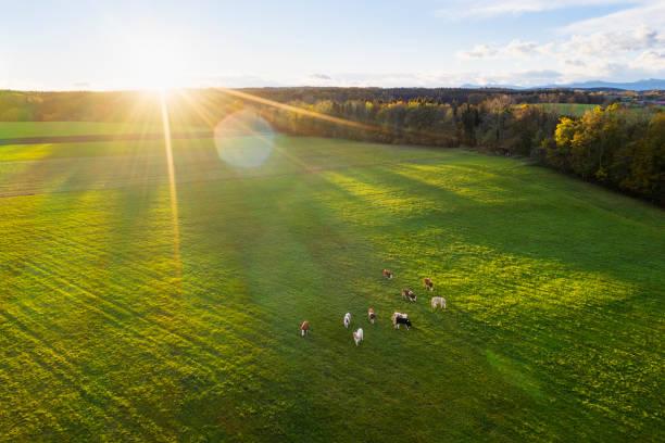 Germany, Bavaria, Thanning near Egling, cows on pasture at sunrise, drone view:スマホ壁紙(壁紙.com)
