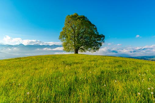 Single Tree「Germany, Bavaria, Allgaeu, Friedenslinde at Wittelsbacher Hoehe」:スマホ壁紙(9)