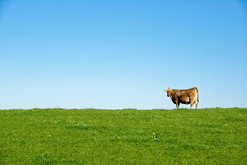 Mammal「Germany, Bavaria, Allgaeu, cow on pasture」:スマホ壁紙(1)