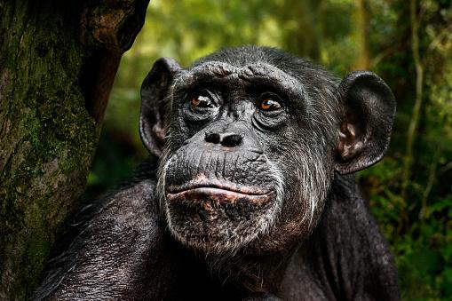 Animal Head「Chimpanzee portrait」:スマホ壁紙(18)