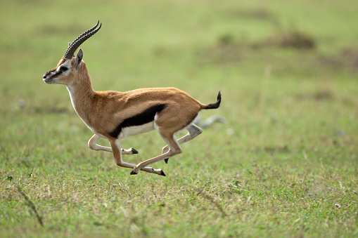 Masai Mara National Reserve「Running Thomson's gazelle」:スマホ壁紙(6)