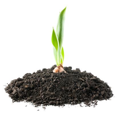 Plant Bulb「Growing Tulip」:スマホ壁紙(2)