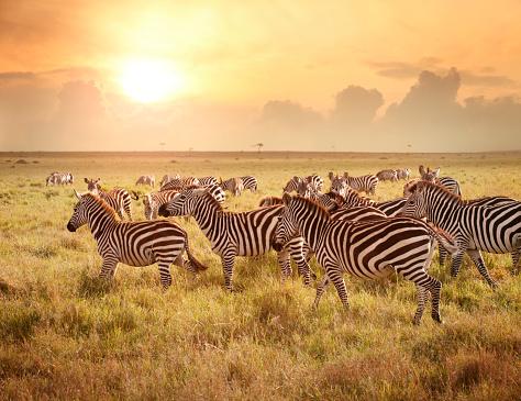 Masai Mara National Reserve「Zebras in the morning」:スマホ壁紙(5)