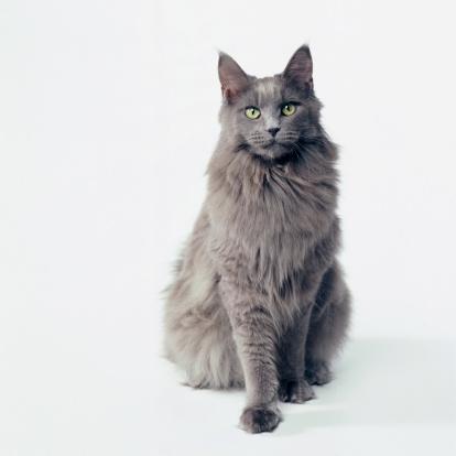 Domestic Cat「Gray Cat」:スマホ壁紙(3)