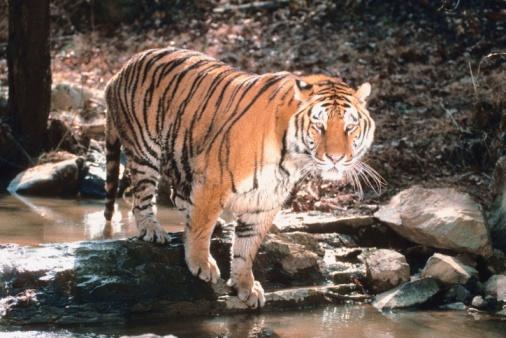 Tiger「Tiger crossing stream」:スマホ壁紙(11)