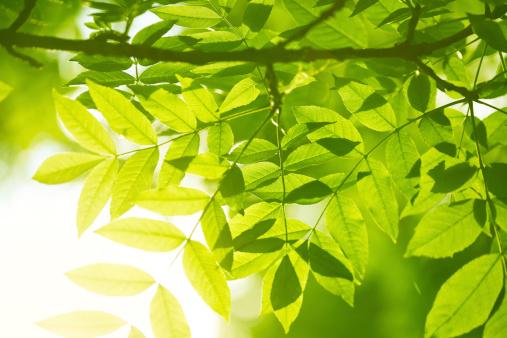 枝「緑の葉」:スマホ壁紙(15)