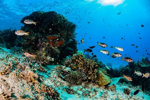 Soft Coral「School of Humpnose Bigeye Breams Monotaxis grandoculis, Raja Ampat, Indonesia」:スマホ壁紙(13)