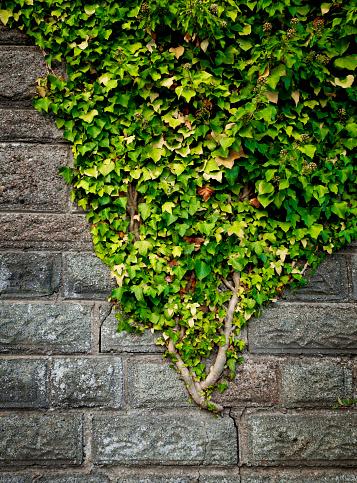 Vine - Plant「Creeper plant on a stone wall」:スマホ壁紙(15)