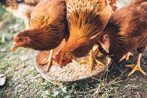 Females「farm chicken」:スマホ壁紙(6)