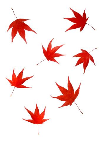 かえでの葉「Falling maple leaves in autumn colour」:スマホ壁紙(15)