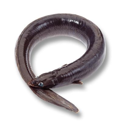 バイパス「Eel (Anguilliformes), elevated view」:スマホ壁紙(17)