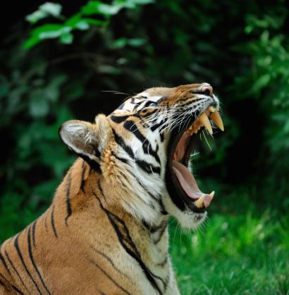 Tiger「yawning tiger」:スマホ壁紙(18)
