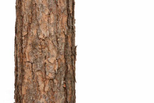 Plant Bark「pine tree」:スマホ壁紙(11)