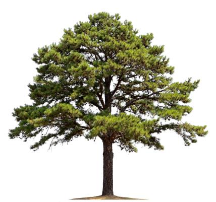 Single Tree「Pine Tree」:スマホ壁紙(14)