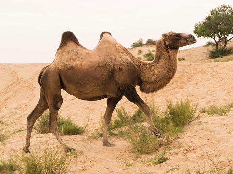 Walking「Wild Bactrian Camel (two humps) in Inner Mongolia China near Xilinhot.」:スマホ壁紙(4)