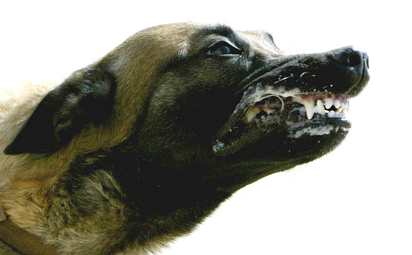 Aggression「Royal Army Veterinary Corps Train Attack Dogs In Kuwait」:写真・画像(2)[壁紙.com]
