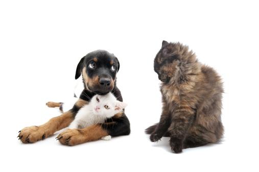 Rottweiler「cat and puppie」:スマホ壁紙(17)