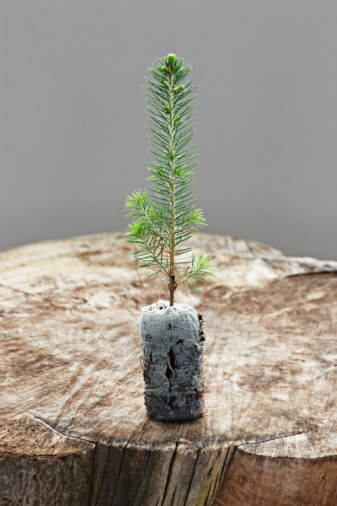 Planting「spruce seedling」:スマホ壁紙(1)