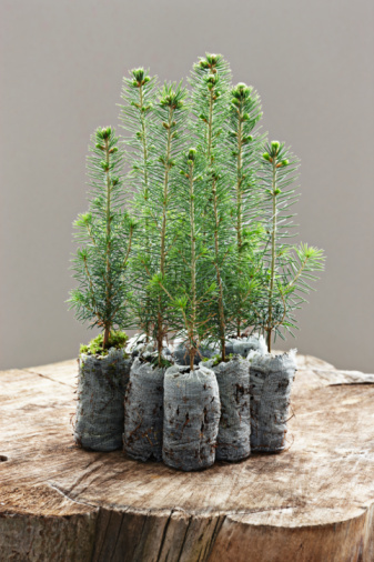 Planting「spruce seedling」:スマホ壁紙(10)