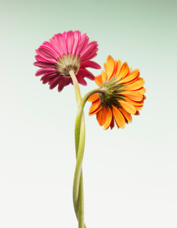 Two Objects「Two gerbera daisies intertwined」:スマホ壁紙(15)