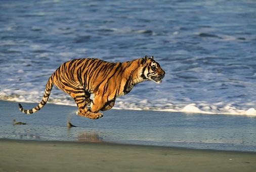 Tiger「Tiger Running on the Beach」:スマホ壁紙(8)
