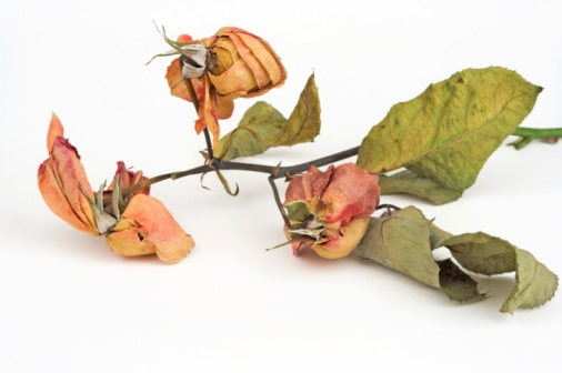 Deterioration「Dead Roses」:スマホ壁紙(14)