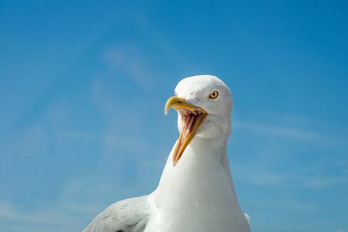 Seagull「Angry Seagull」:スマホ壁紙(8)