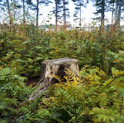 Lumber Industry「Stump in fern plants growing in lush forest」:スマホ壁紙(1)