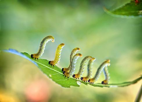 Walking「Caterpillars walking on leaf」:スマホ壁紙(2)
