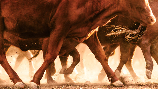 Queensland「Cattle kicking up dust in outback, Dulacca, Queensland,  Australia」:スマホ壁紙(0)