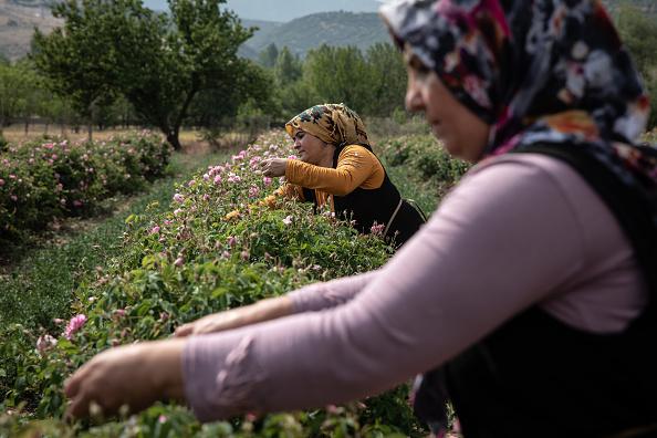 Turkey - Middle East「Turkey's Rose Harvest Gets Underway Despite Coronavirus And Drought Conditions」:写真・画像(14)[壁紙.com]