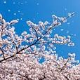 春カテゴリー(壁紙.com)
