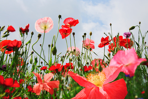 Uncultivated「blooming poppy plants silhouetted against sky」:スマホ壁紙(17)