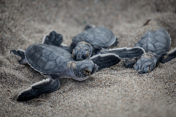 Animal Themes「Conservation Efforts Continue To Help Stabilize Turkey's Green Turtle Population」:写真・画像(6)[壁紙.com]