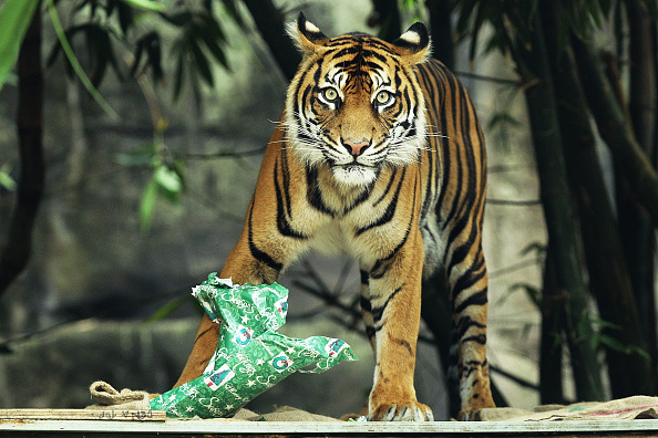 Tiger「Zoo Animals Receive Christmas Treats」:写真・画像(2)[壁紙.com]