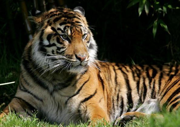 Tiger「San Francisco Zoo Celebrates Endangered Species Day」:写真・画像(0)[壁紙.com]