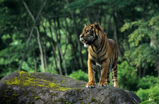 Tiger「Sumatran tiger (Panthera tigris sumatrae) standing on rock, Indonesia」:スマホ壁紙(14)