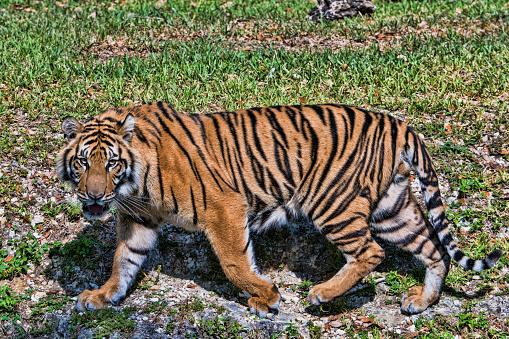 Tiger「Sumatran Tiger」:スマホ壁紙(11)