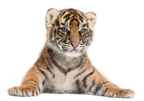 Tiger「Sumatran Tiger cub - Panthera tigris sumatrae」:スマホ壁紙(12)