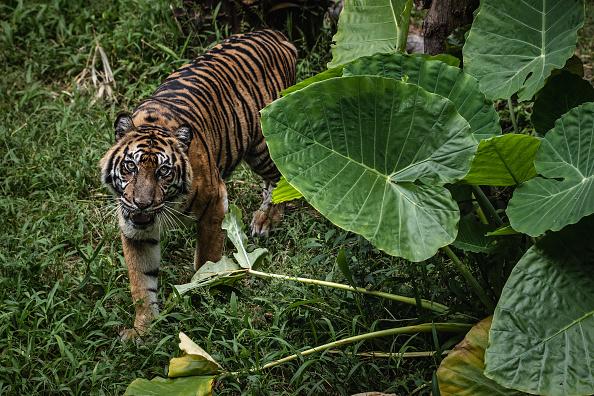 Tiger「Indonesia's Zoo Animals Face Food Shortage Amid The Coronavirus Pandemic」:写真・画像(5)[壁紙.com]
