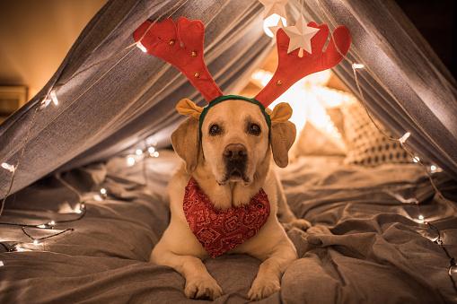 Entertainment Tent「Christmas dog」:スマホ壁紙(7)